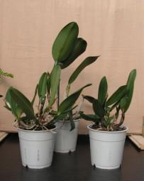 Cattleya-Hybriden 10