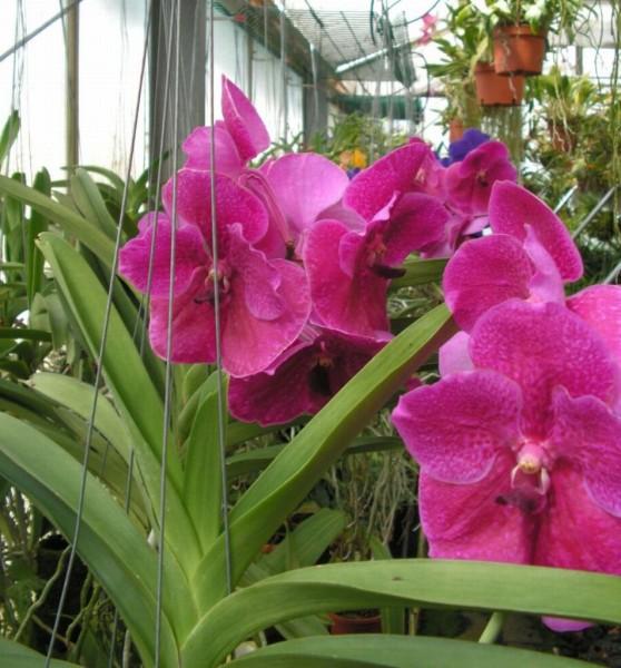 vanda wunschfarbe hybriden vanda ascocenda bei orchideen. Black Bedroom Furniture Sets. Home Design Ideas