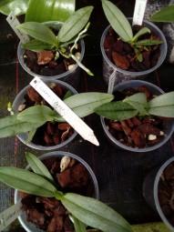 Phalaenopsis anna-larati soekardi x lobbii