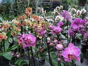 Phalaenopsis-Sortiment unsortiert 2