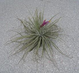 Tillandsia magnussiana