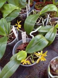 Phalaenopsis mannii var. flava