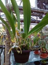 Maxillaria triloris groß