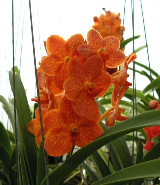 ascocenda orange terracotta hybriden vanda ascocenda bei. Black Bedroom Furniture Sets. Home Design Ideas