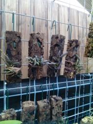 Dendrobium cucumerium