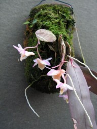 Dendrobium pseudolamellatum