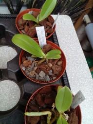 Phalaenopsis cornu-cervi var. chattaladae