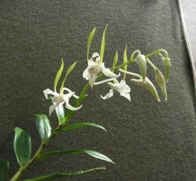 Dendrobium antennatum