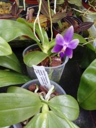 Phalaenopsis violacea indigo x samera bleu