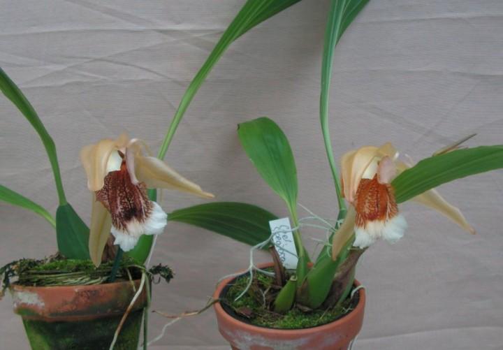 coelogyne speciosa donker oder salmonicolor orchideen naturformen bei orchideen seidel kaufen. Black Bedroom Furniture Sets. Home Design Ideas
