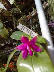 Phalaenopsis violacea x violacea indigo