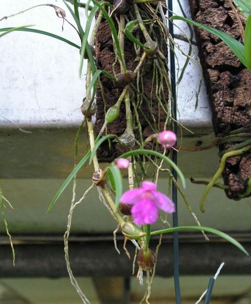 neolauchea pulchella orchideen naturformen bei orchideen. Black Bedroom Furniture Sets. Home Design Ideas